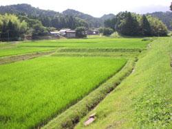 有機玄米ちから米(有機JAS認定) 【玄米5kg】